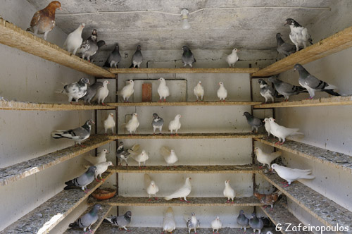 Doves of amazing airworthiness in a perfectly clean and organised coop.