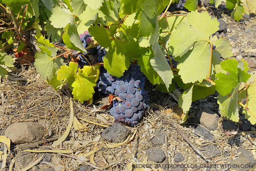 "The volcanic soil keeps the temperature low and so the grapes that touch it don't ""burn""."